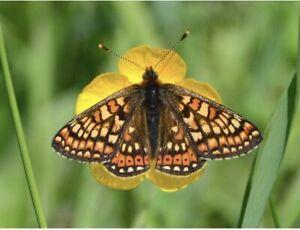20 X Marsh Fritillary British Butterfly Larvae Caterpillar  Livefood