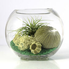 Air plant Kit glass Terrarium Green theme, green sea urchins & Green Ionantha