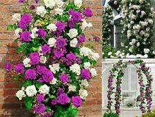 CLIMBING ROSE SEED PACK. 10 Purple & 10 White Climbing Roses Vine Flower