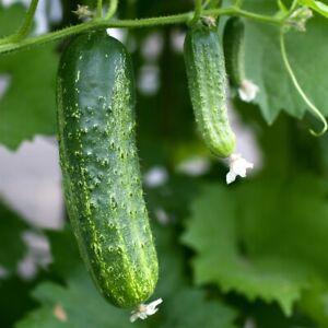 Organic Cucumber Sumter, 30 seeds,