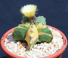 Astrophytum myriostigma nudun variegated exotic cacti rare cactus seed 50 Seeds