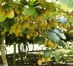 British Columbia Kiwi Hayward Plant -30 Seeds- Grow Your Own Kiwifruits