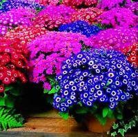 100 PCS Seeds Mix Color Cineraria Bonsai Plants Flowers Home Garden Tropical NEW