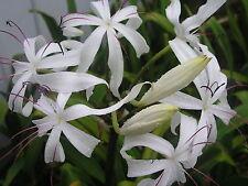 Crinum Lily, Erubescens, large, blooming-size bulb - aquatic
