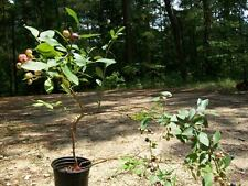 2'-3' Powder Blue Blueberry Plant Fruit Bearing Plants New Healthy Blueberries