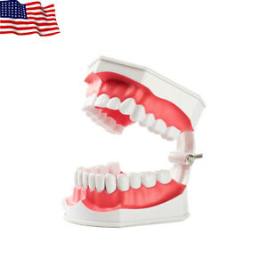 Dental Teaching Typodont Model With Removable Teeth Colgate (Large) EASYINSMILE