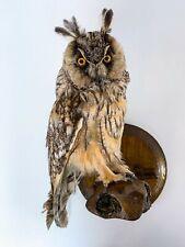 "Vintage Real Genuine Stuffed Bird Owl Taxidermy Wall Mount 13 in"""