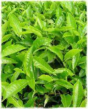 Pianta del Tè 'Camellia Sinensis' in vaso h. 40 cm circa