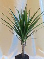 Dragon Tree House plant 35 - 40 cm potted plant Dracaena marginata