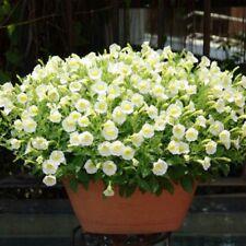 30Pcs Yellow Petunia Flower Seeds bonsai splant for home garden Easy to Grow