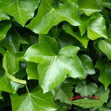Kletterpflanze Efeu, immergrüner Klassiker für schattige Stellen, 120-150 cm