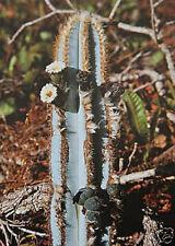 Pilosocereus azureus rare columnar cacti exotic color cactus seed 200 SEEDS lots