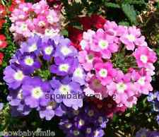 200 Verbena Hybrida Seeds Garden Vervain Mixed Color Fragrant Flower Perennial