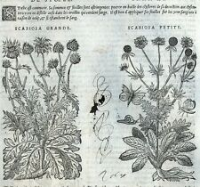 Flores Scabieuse Ciclamen Botánica Matthioli Mattioli Matthiole Dioscorides
