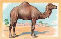 Postcard Camel