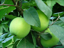 Apfel Weißer Klarapfel Sommerapfel.Apfelbaum ca. 200 cm.