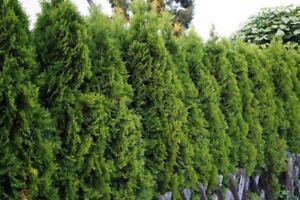 American Arborvitae (Thuja occidentalis), 50 seeds