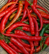 HOT CHILLI PEPPER - RING OF FIRE  - 25 SEEDS 0.12g - ORGANIC