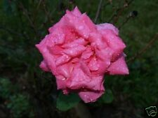 """""""Pink Rose After The Rain"""" Photo Print Matted & Signed"""