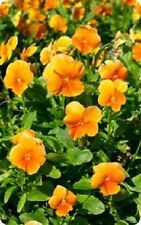 FLOWER PANSY SWISS GIANT ORANGE  500 FINEST SEEDS