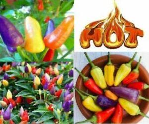 RAINBOW Aurora Chilli Chili Hot Pepper Seeds Rare MULTI BUY OFFER
