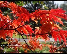"""ACER JAPONICUM """"Aconitifolium """"  shirasawanum-Japanese Maple."""