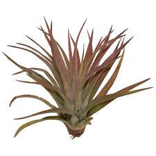 Tillandsia brachycaulos abdita live air plant bioactive vivarium terrarium wood