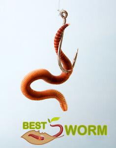 Ca.300 kleine Angelwürmer Mistwürmer ungekühlt haltbar Forelle Karpfen  Aale usw
