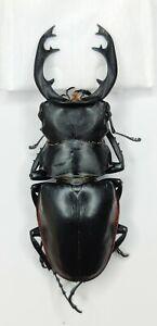 Lucanidae, Odontolabis sp, 77mm, Fujian, China