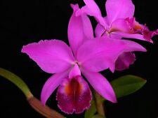 Especies orquídeas Cattleya jenmanii Rubra Bloom tamaño Fragante