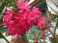 Fuchsia Pink Oleander Live Bush Plant Potted 8-10 Inches Tropical Shrub