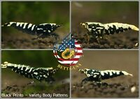 10+1 Black Pinto & Galaxy (Mixed Grade S-SSS) - USA Seller - Pre Order Listing