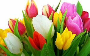 20 x Mixed Tulips - SPRING FLOWERING - Perennial Garden Tulip Plant BULBS