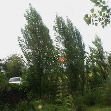 Lombardy Poplar Populus nigra 'Italica' 10 Fresh Cuttings + 2FREE Great Screen