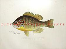SUNFISH CRAPPIE PUMPKINSEED POND PERCH ~ 1895 Sherman DENTON GAME FISH Art Print