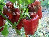 🔥 Ancho Poblano grösster Chili *Mexico* Paprika* 10 Samen