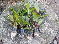 lot de 5 pots d echinodorus rare plante aquarium promo