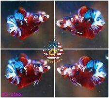[TI-2452] Live Betta Fish High Quality Halfmoon Plakat Red Blue Galaxy Koi