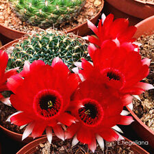 Beautiful Lobivia Tiegeliana Cactus Bulb