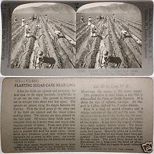 Keystone Stereoview of Planting Sugar Cane in Lima, PERU From 1200 Card Set #122
