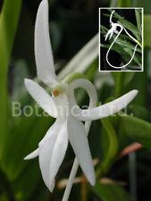 Botanica Ltd. Jumellea comorensis *Madagascar* Species Orchid Plant
