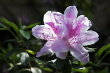Rhododendron 'Cheer' 30-40cm Tall In 1.5L Pot, Magnificent Light Pink Flowers