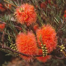 Melaleuca fulgens Apricot Delight Honey myrtle native plant in 50mm pot