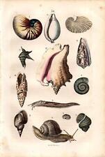 1866 REBAU HC LITHO nautilus, slug, cone shell, cowrie, mitre, conch, snails