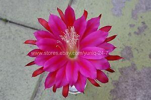 """(1) Epiphyllum CUTTING X-Large Purple #2 Flower 7"""" Long Orchid Cactus Succulent"""