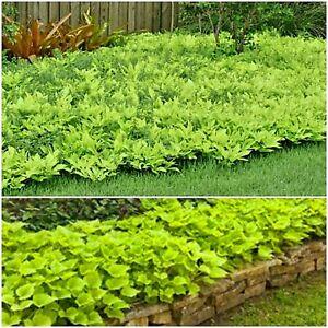 SWEET POTATO VINE Plants 5 Fresh Cuttings, Easy to Grow, Yellow Green