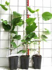 """Morus alba """"Pendula""""  /   weiße Maulbeere, seltene Hängeform, veredelte Pflanze"""