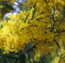 YELLOW PRICKLY MOSES Acacia hubbardiana native hardy plant in 140mm pot