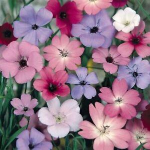 Viscaria Blue and Rose Angel Seeds Silene 100 fresh seeds
