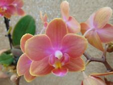 Rare Phalaenopsis `Gwen` orchid plant FS in bloom in 7cm pot